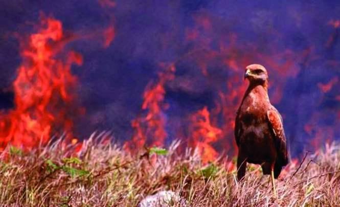 Пернатые поджигатели австралийских лесов