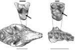 Найдены самые старые полости у млекопитающих