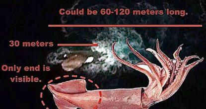 У берегов Антарктиды замечен огромный кальмар